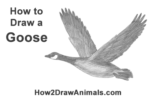 How to Draw Canadian Goose Flying Wings