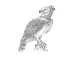 How to Draw a Harpy Eagle Bird