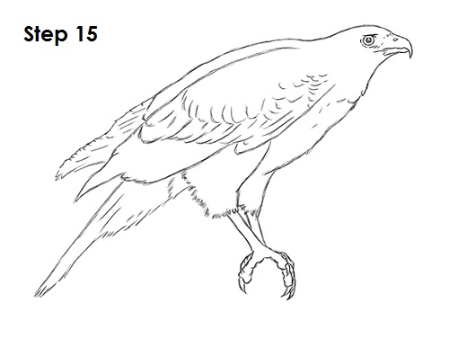 draw harris hawk 15
