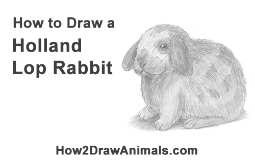 How to Draw a Holland Lop Rabbit