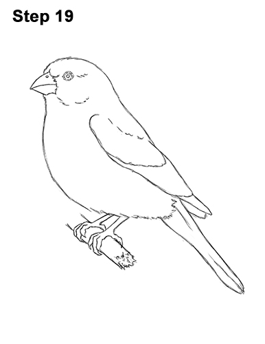 Finch coloring pages birds nches finch best free for Finch coloring page