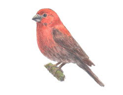 How to Draw a Red House Finch Bird