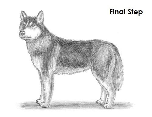 How To Draw A Dog Husky