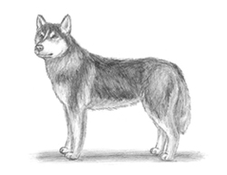 How to Draw a Husky Dog