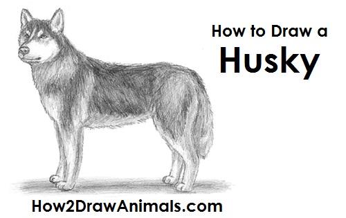 draw husky
