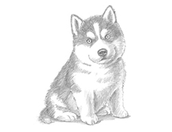 How to Draw a Husky Puppy Dog