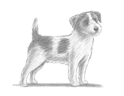 How to Draw a Jack Russell Terrier Puppy Dog