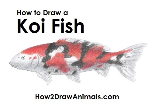 Draw Koi Fish