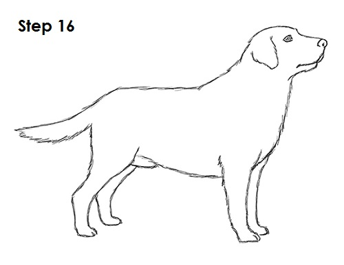 Draw Labrador Retriever 16