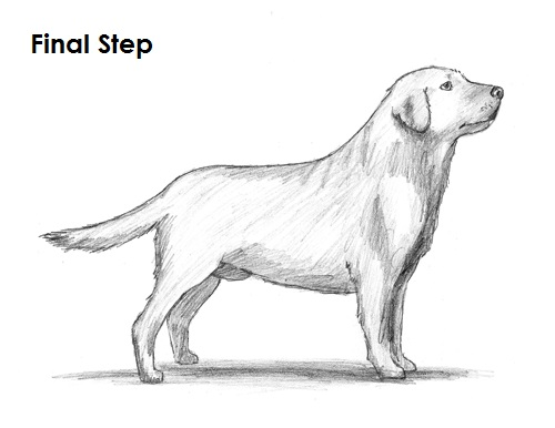 Draw Labrador Retriever Final