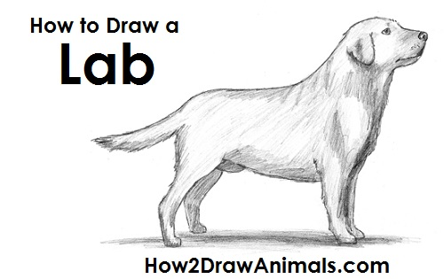 Draw Labrador Retriever Dog