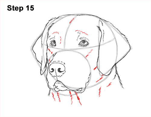 How To Draw A Labrador Retriever Head Video Step By Step Pictures