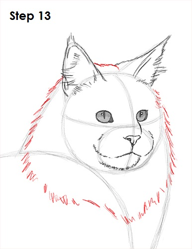 Draw Maine Coon Cat 13
