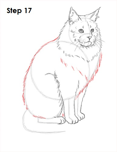 Draw Maine Coon Cat 17
