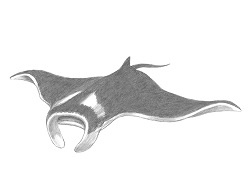 How to Draw a Giant Manta Ray