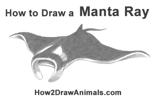 How to Draw Giant Oceanic Manta Ray