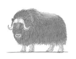 How to Draw a Musk Ox