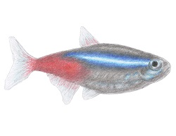 How to Draw a Neon Tetra