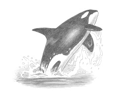 How to Draw a Killer Whale Orca Jumping