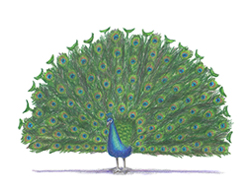 How to Draw a Peacock Bird Tail Feathers