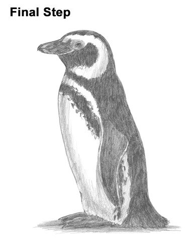 how to draw magellanic penguin