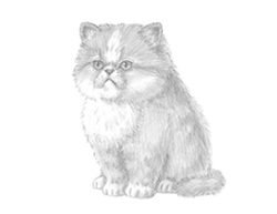 How to Draw a Persian Kitten