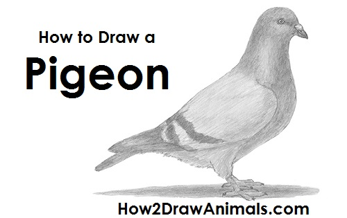 How to Draw a Pigeon