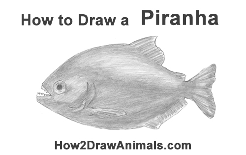How to Draw a Piranha Fish