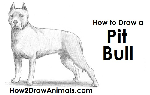 Image of: Pictures Draw Pit Bull Sweet Sardinia How To Draw Dog pit Bull