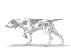 How to Draw an English German Shorthaired Pointer Dog