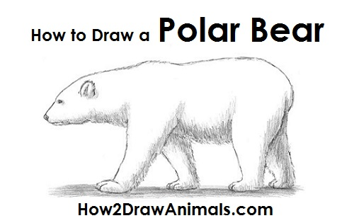 Draw Polar Bear