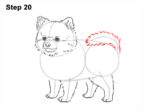 How to Draw a Cute Pomeranian Puppy Dog 20