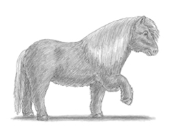 How to Draw a Shetland Pony