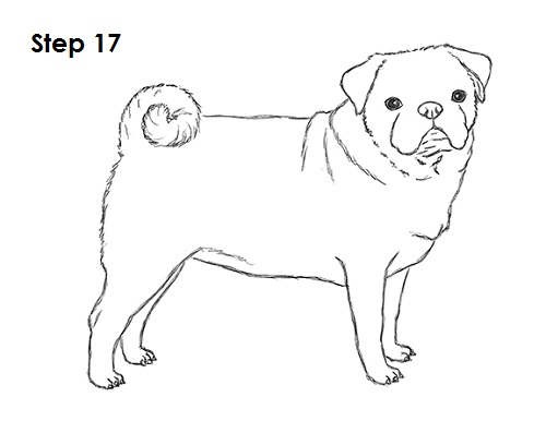 Draw Pug Drawing 17