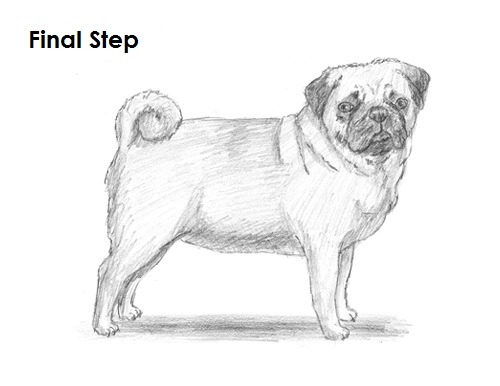 Draw Pug Drawing Last