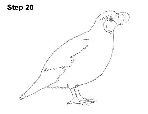 Quail Line Art : Quail cartoon drawings to draw a