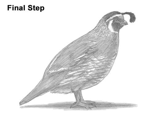 How to Draw a Quail Growling Dog Drawing