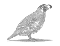 How to Draw a California Quail Bird