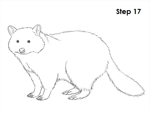 Line Drawing Raccoon : How to draw a raccoon