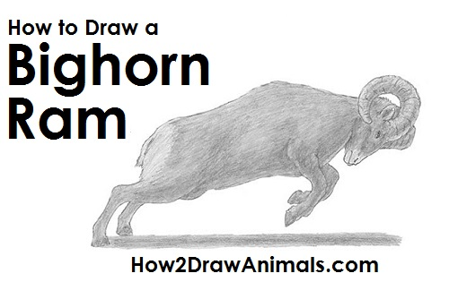 How To Draw This Bighorn Ram In Six Easy Steps