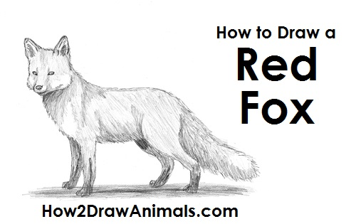 Draw Red Fox