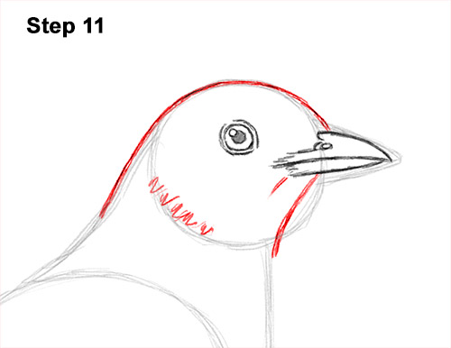 How to Draw an American Robin Bird Color 11
