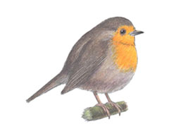 How to Draw a European Robin Bird