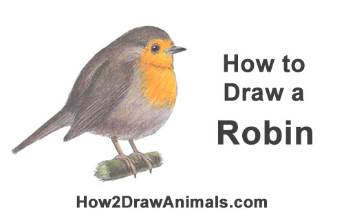 How to Draw a Cute Fluffy European Robin Bird