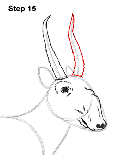 How to Draw a Male Saiga Antelope 15