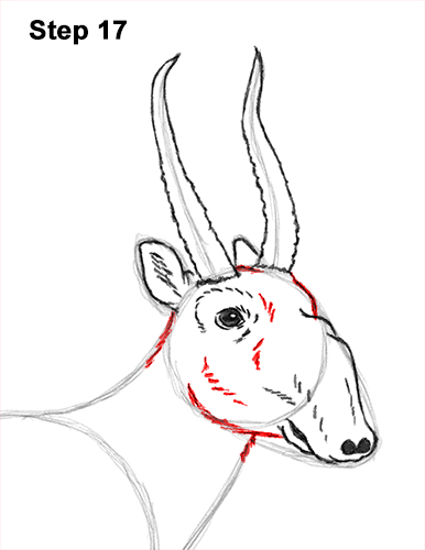How to Draw a Male Saiga Antelope 17
