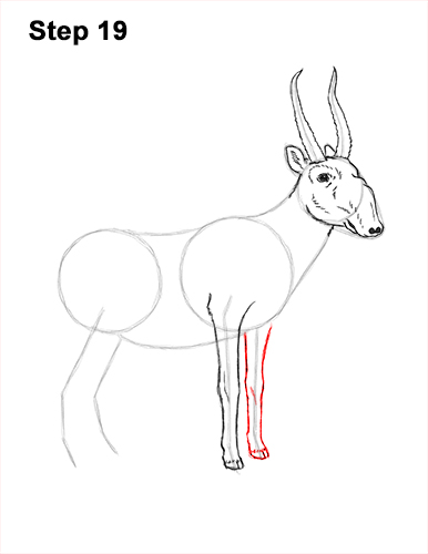 How to Draw a Male Saiga Antelope 19