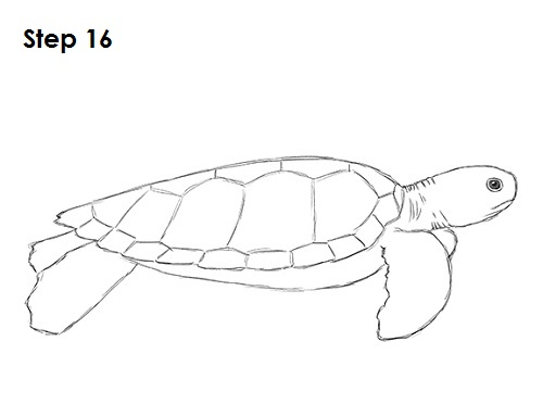 Draw sea turtle 16