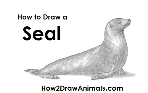 How to draw a seal sea lion draw seal publicscrutiny Images