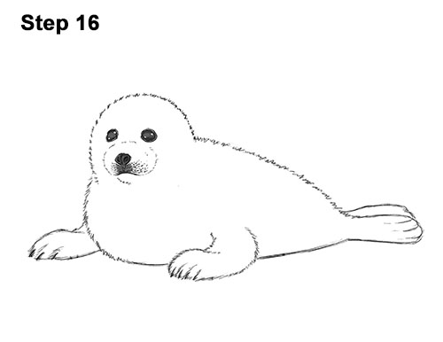 How to Draw a Seal Pup (Harp Seal) Baby Arctic Seal Drawing